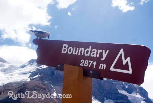 Bird on sign at Jasper glacier