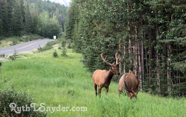 Bull and cow Elk near Two Jack