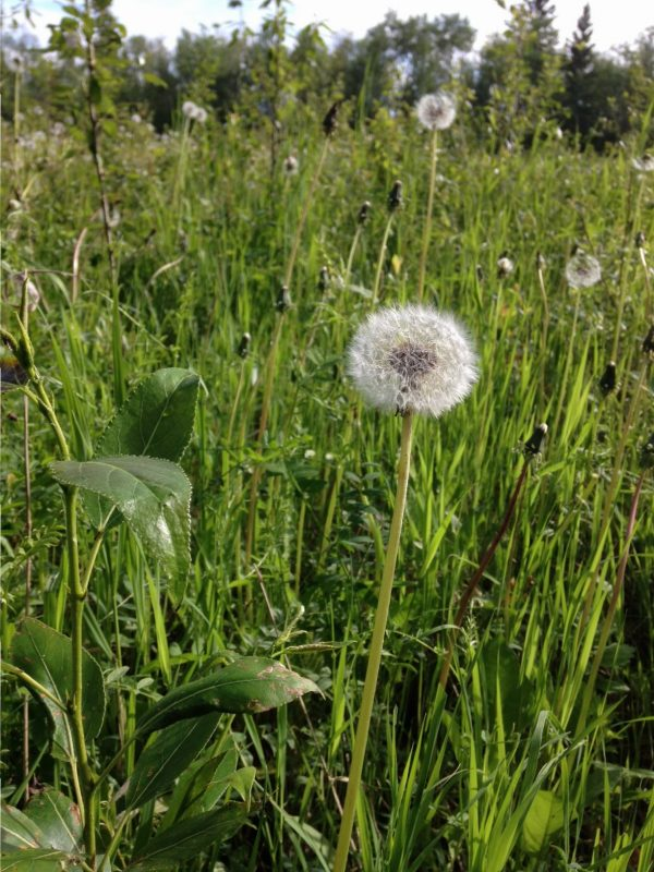 I know the dandelion is not a popular flower, but I see beauty in the perfect oval and am amazed by the design that enables dandelions to go to seed and multiply.